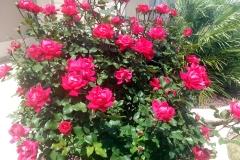 Knockout Rose Tree